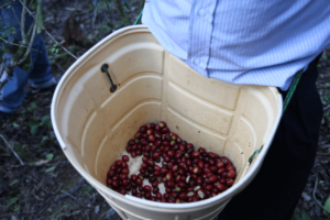 specialty coffee in peru_coffee cherries