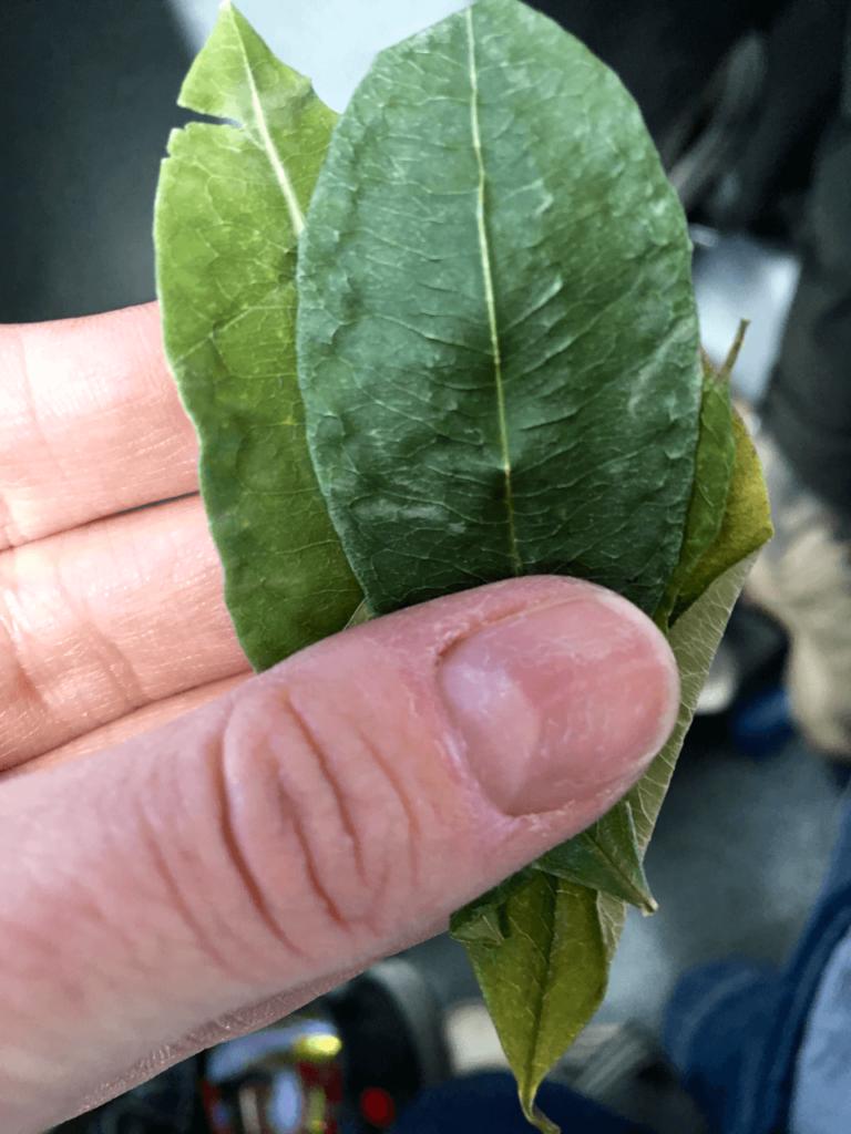 specialty coffee in peru_koka leaves