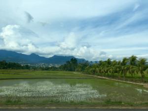 specialty coffee in Peru_rice fields
