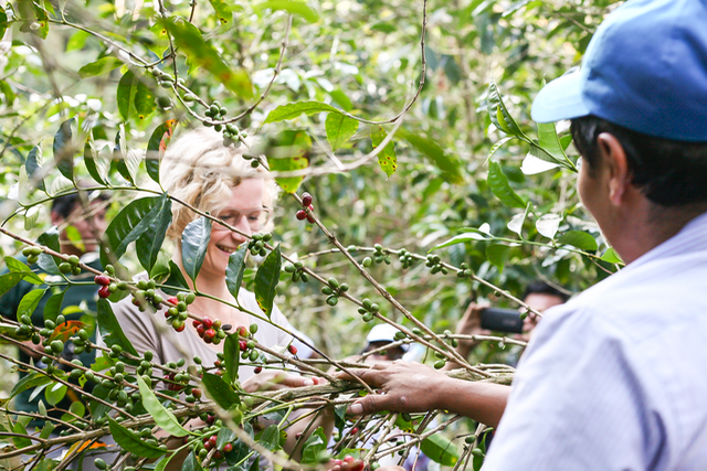 specialty coffee in peru_Melanie harvesting coffee cherries